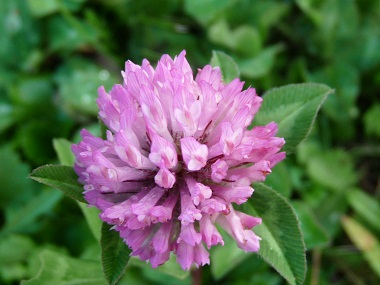 Red clover pictures flowers leaves and identification trifolium red clover artcard red clover artcard red clover flower mightylinksfo