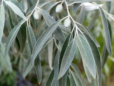 russian olives leaves