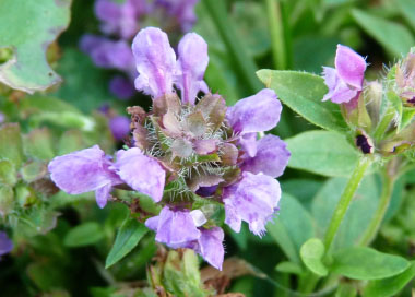 Prunella vulgaris flower