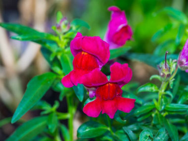 red snapdragon flowers