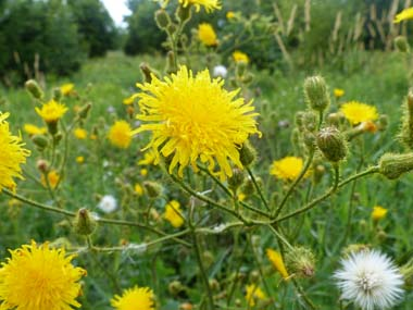 sow thistle flower 2