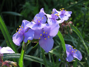 spiderwort close up