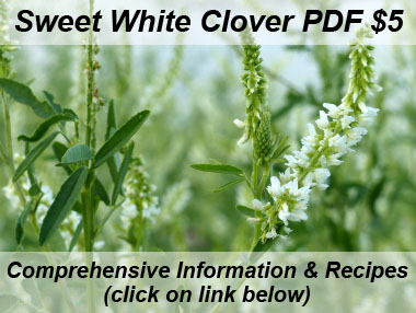 sweet white clover plant sideview