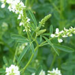 Sweet White Clover