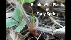 Edible Wild Plants in Early Spring