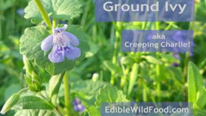 Ground Ivy (Creeping Charlie)