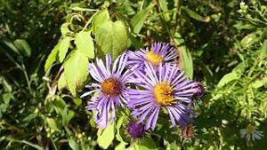 How to Identify New England Aster