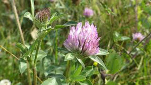 How to Identify Red Clover