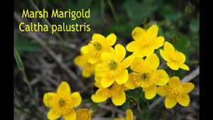 Marsh Marigold - Edible ONLY When Cooked!