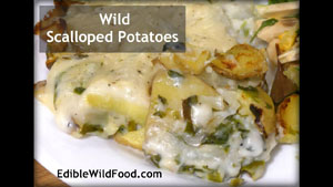 Wild Scalloped Potatoes