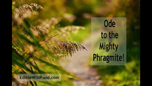 The Mighty Phragmite
