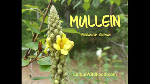 Mullein Identification, Edibility and Medicinal Uses