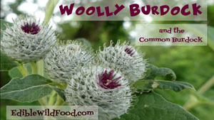 Woolly Burdock and Common Burdock