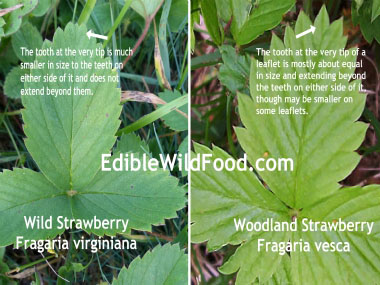 woodland vs wild strawberry