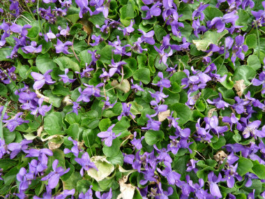 Image result for early violets