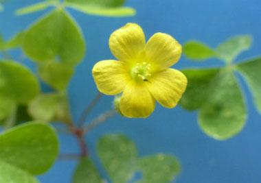 wood sorrel flower 2