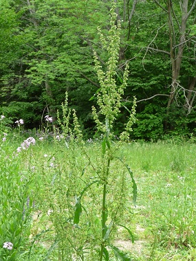 Yellow dock pictures flowers leaves and identification rumex seeds yellow dock mightylinksfo